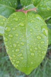 Green leaf J