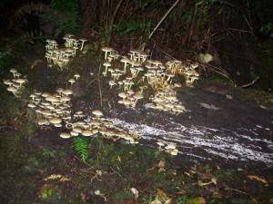 Mushroom R